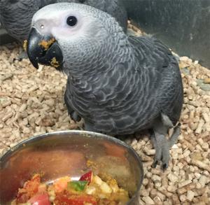 jeune perroquet gris du gabon